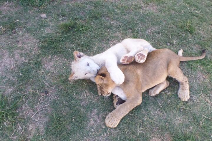 Парк львов, Йоханнесбург