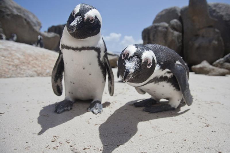 Пингвины, Кейптаун, Южная Африка