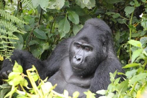 горные гориллы Руанда тур