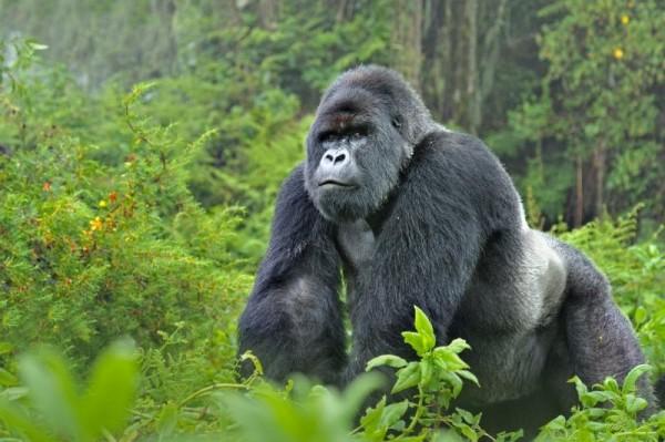 Руанда, тур к горным гориллам и сафари
