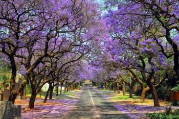 Приключенческий тур в ЮАР, Кейптаун, цветение Джакаранды