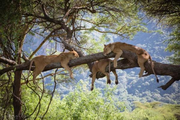 заповедник Лейк Маньяра Танзания, лазающие по деревьям львы