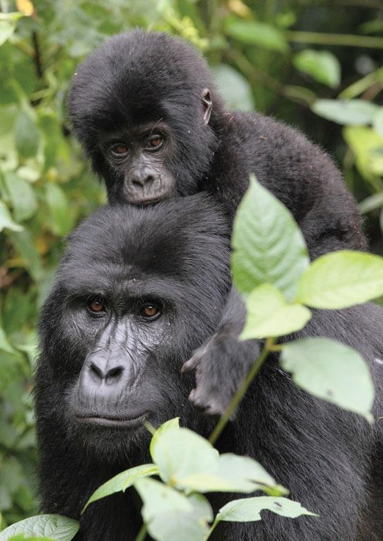 тур в Уганду, гориллы в парке королевы Елизаветы