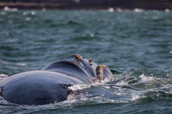 Тур в Кейптаун, киты в Херманусе