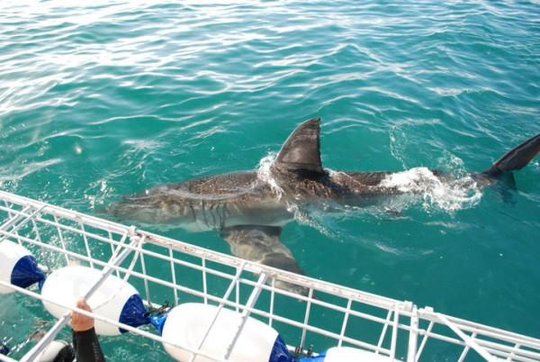 Экскурсия-тур: Кейптаун, Белые акулы в бухте Хансбай, Южная Африка